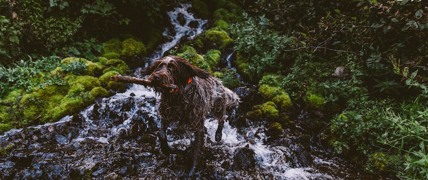 hunting dog walking up rocky stream bed in with mossy stones