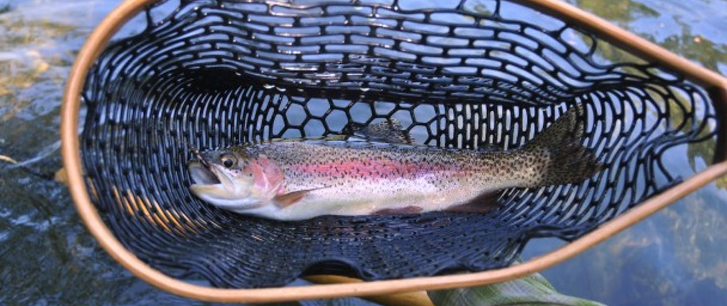 "16"" Redside, Oregon's native Rainbow Trout in net"