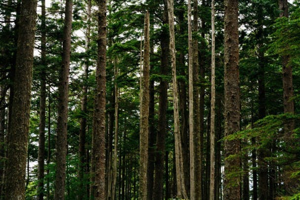 Trees - Olympic National Forest - Jordan Butcher
