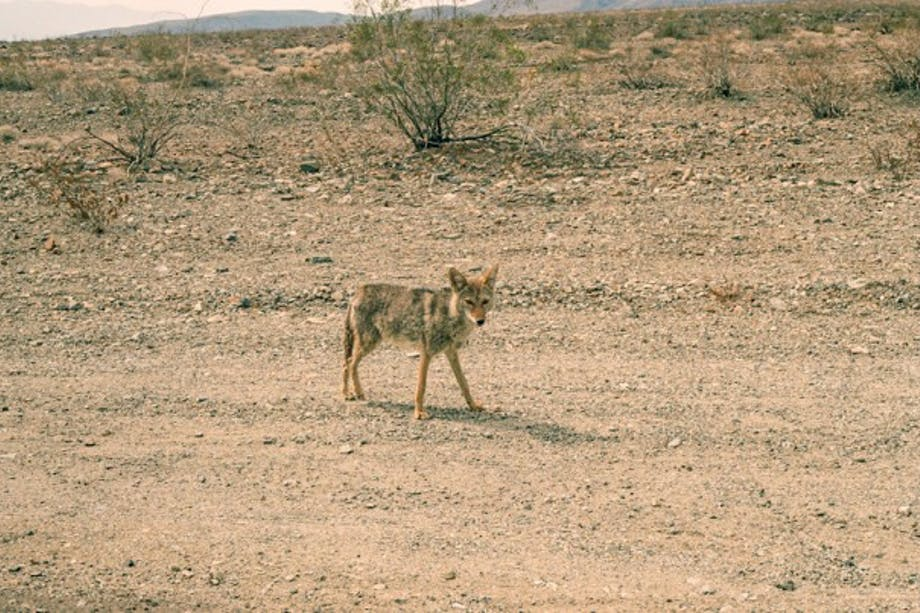 Coyote Outside Death Valley