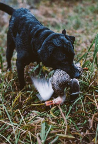 black bird dog in water retrieves duck for hunter