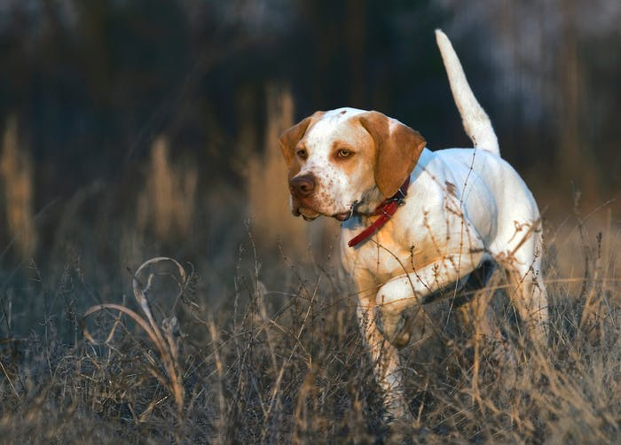 white and brown Bird Dog points