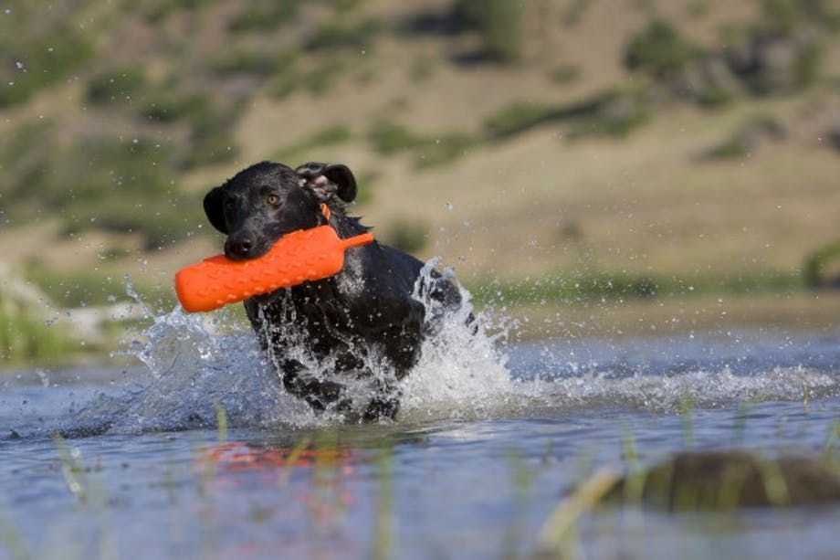 Black hunting dog bounding through water with orange training duck decoy