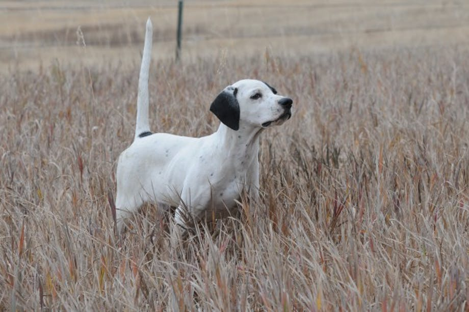white and black spotted bird dog in yellow grass points