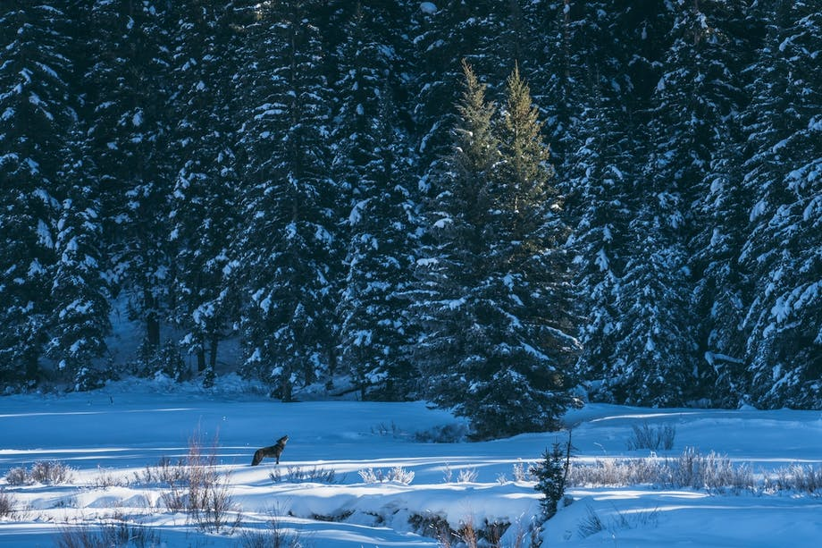 wolf stands in snowy field in front of pine trees