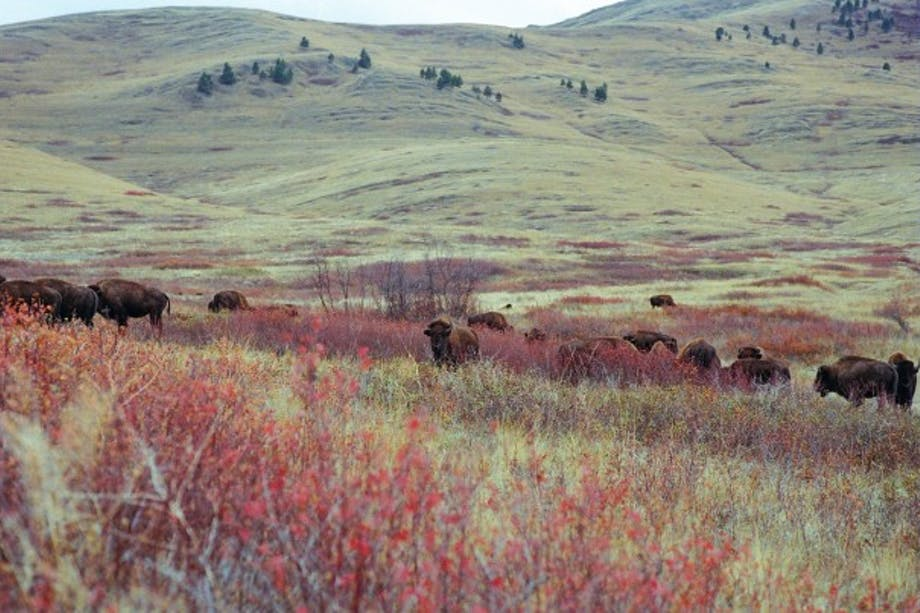 bison among red and yellow foliage in rolling hills