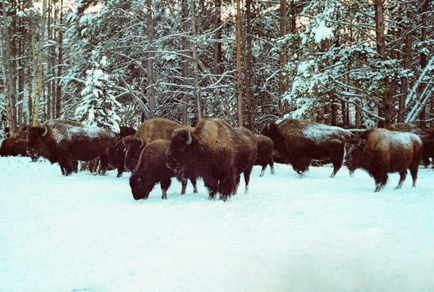 A snowy landscape along a treeline where a herd of bison are huddled together