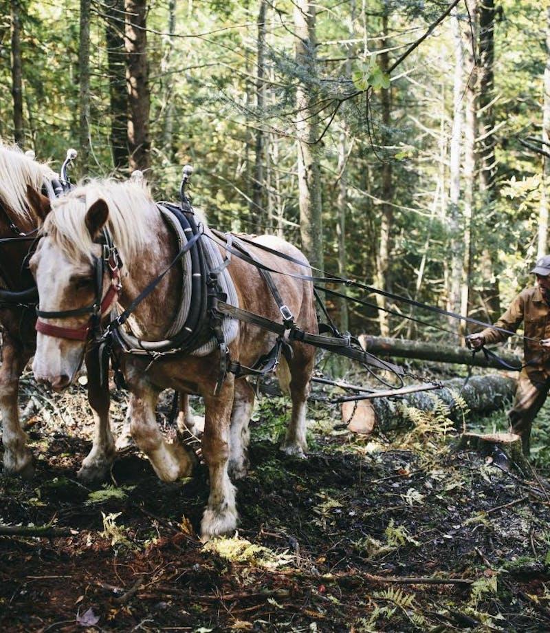 horses pulling logs