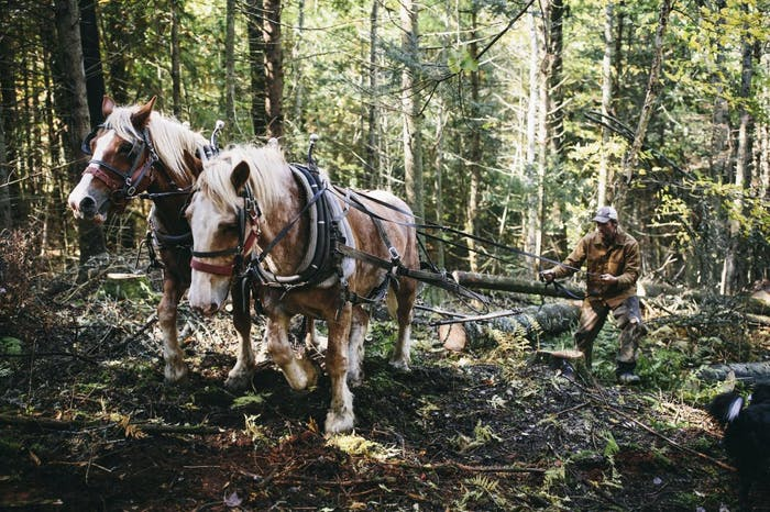 horses pulling logs in forest