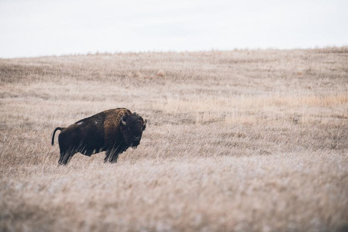 American Bison standing in rolling hills