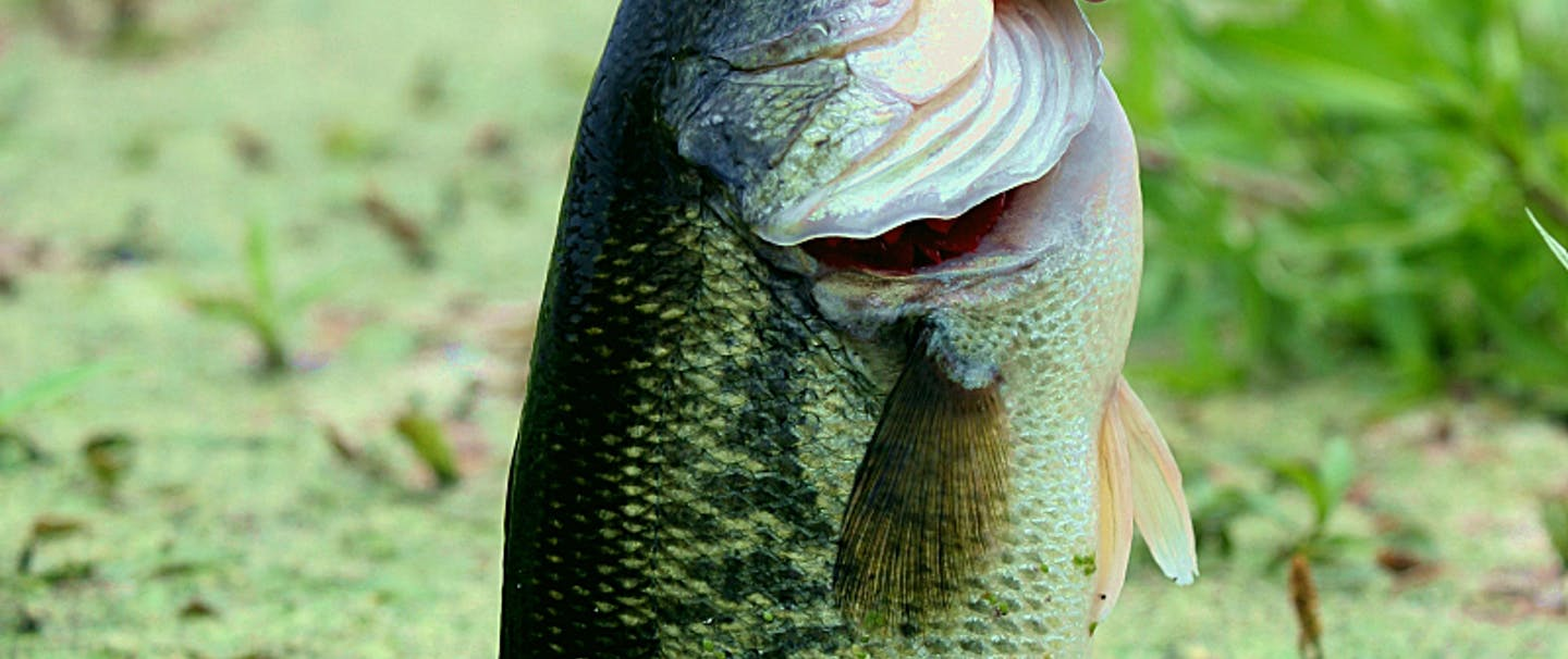hand lifts bass fish out of pond topped with green plant matter