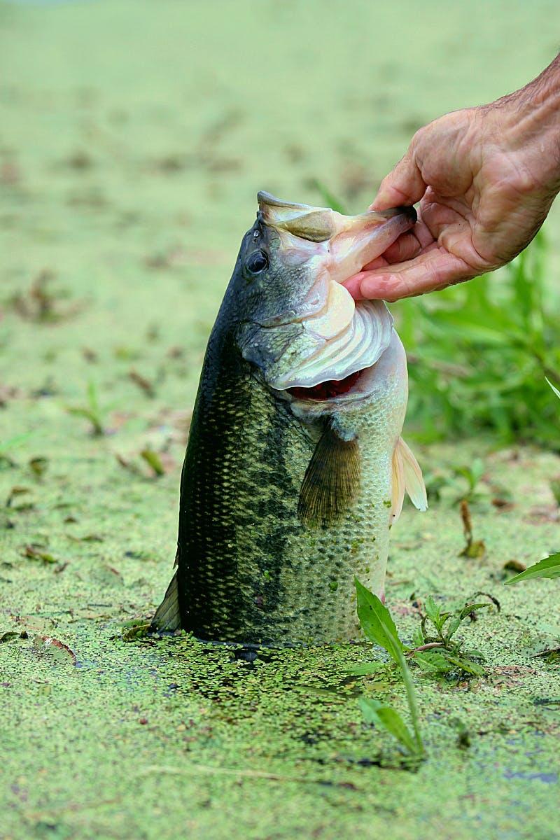 Bass pond bassLR[1]
