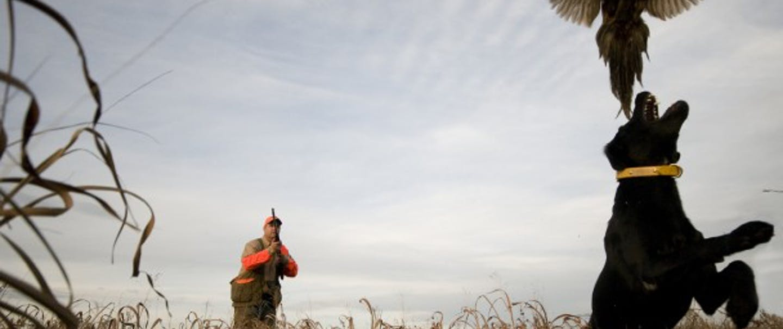 dog leaps for pheasant as hunter takes aim
