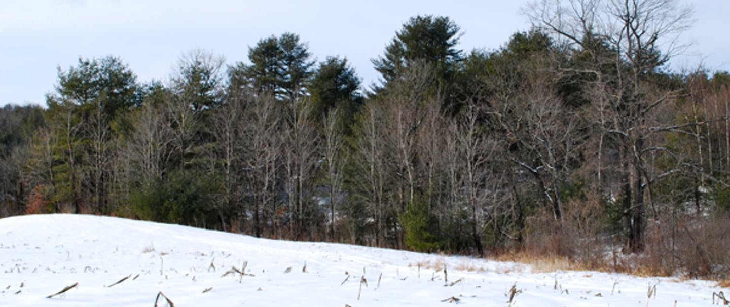 snowy field with reeds poking up through snow with treeline in background