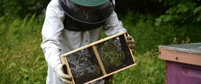 bee keeper adjusting hive