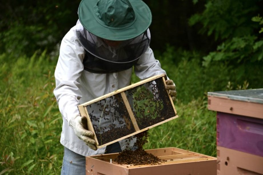 bee keeper in green hat with net holds a wooden hive insert with thousands of bees
