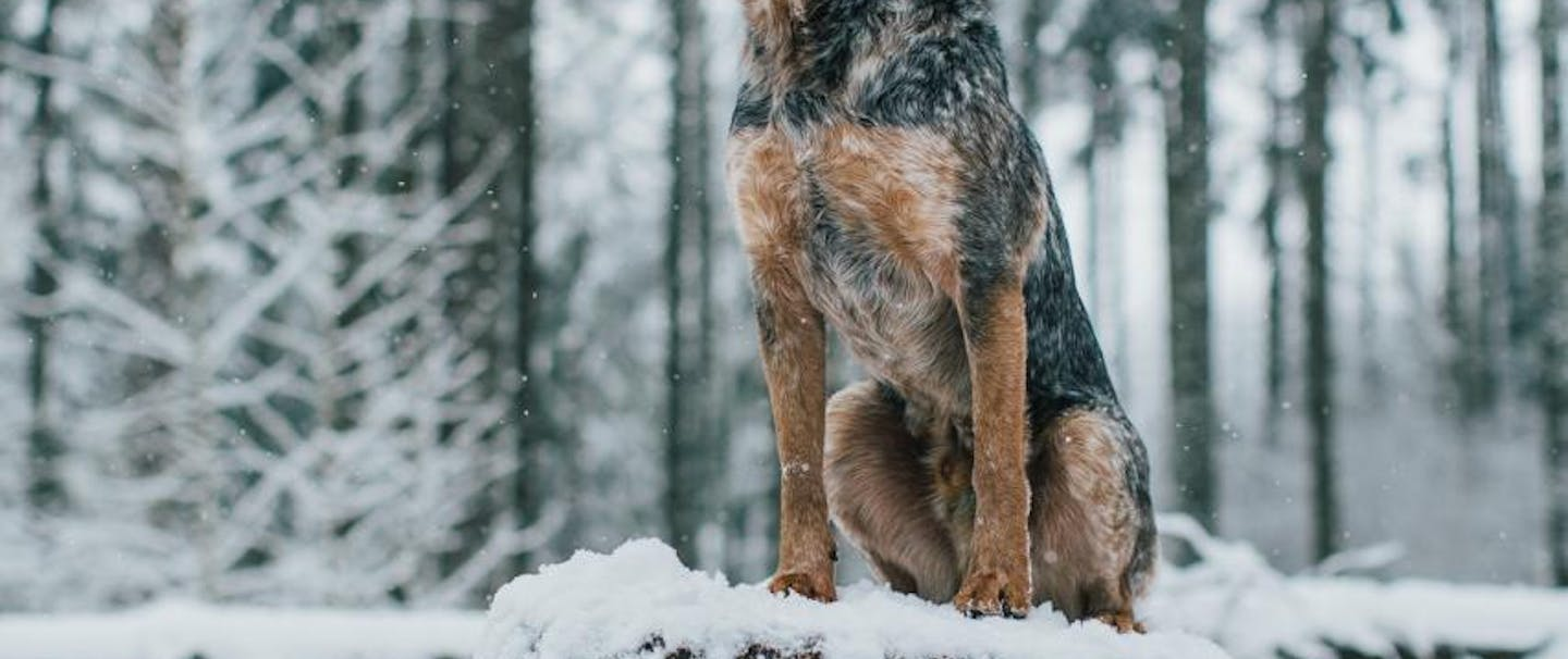 blue heeler dog sits on snowy tree stump in pine forest