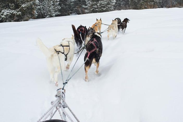 sled dog team pulls sled in snow toward pine forest