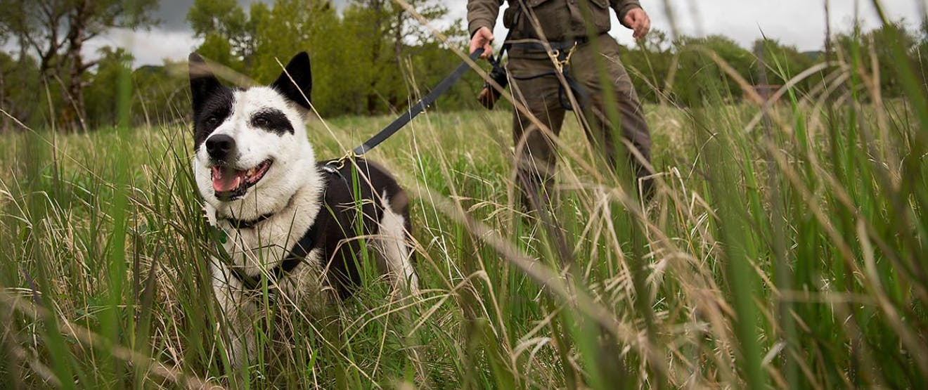man in brown hat and coat holds black and white dog on leash in grassy field