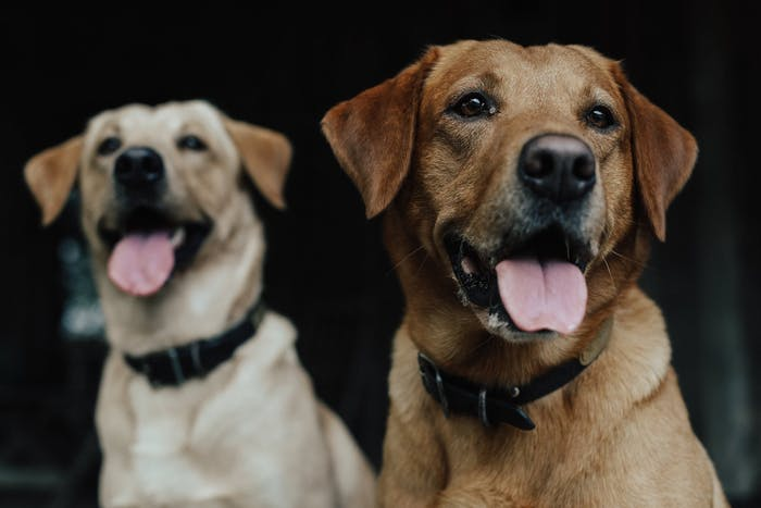 two labs, a portrait