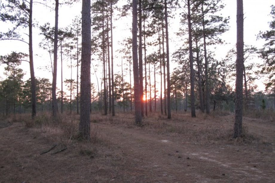 sunrise in sparse pine forest