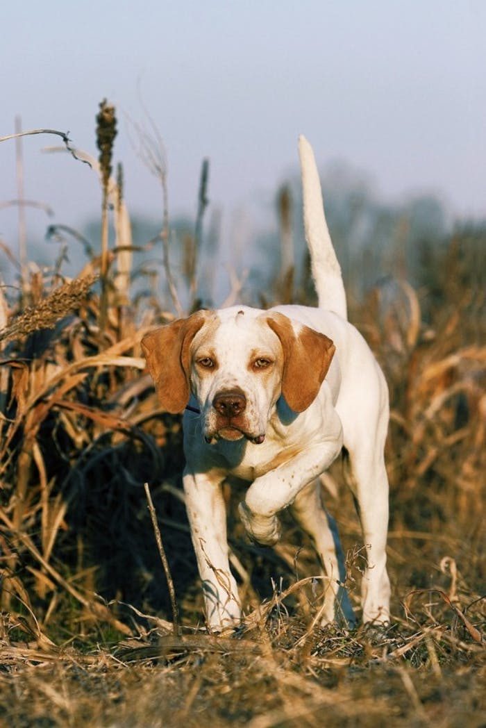 Bird Dog - Pointing