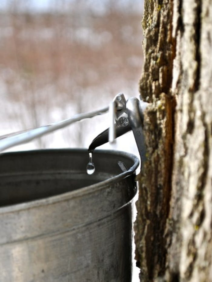 maple sap running out of spout into bucket