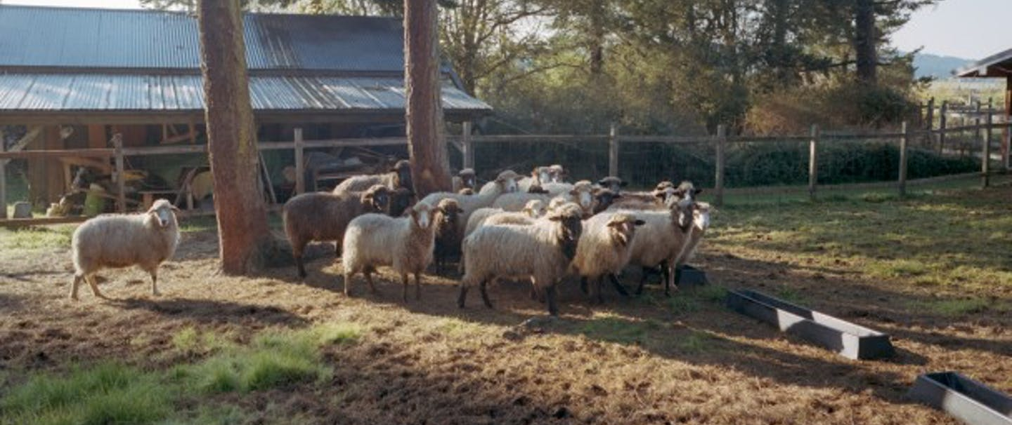 Sheep standing in a group in a pasture