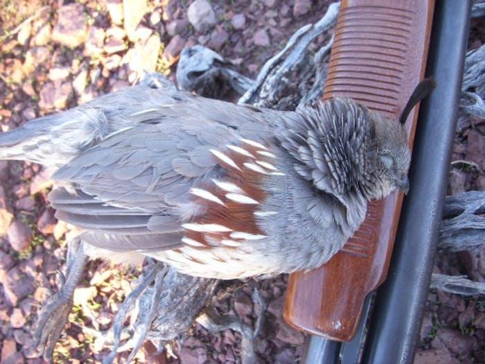 quail on top of shotgun