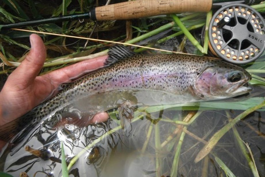 flyfisher hand with rod holding rainbow trout