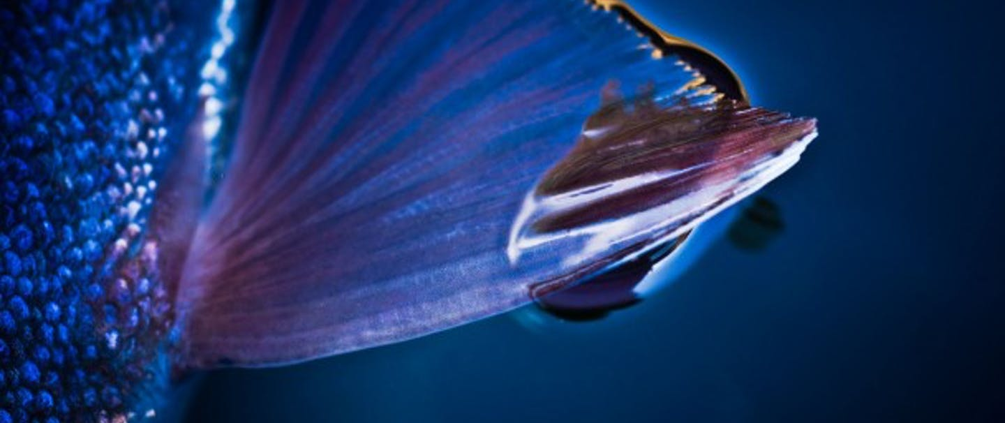 extreme close-up of the detail of an opalescent purple and blue fish fin
