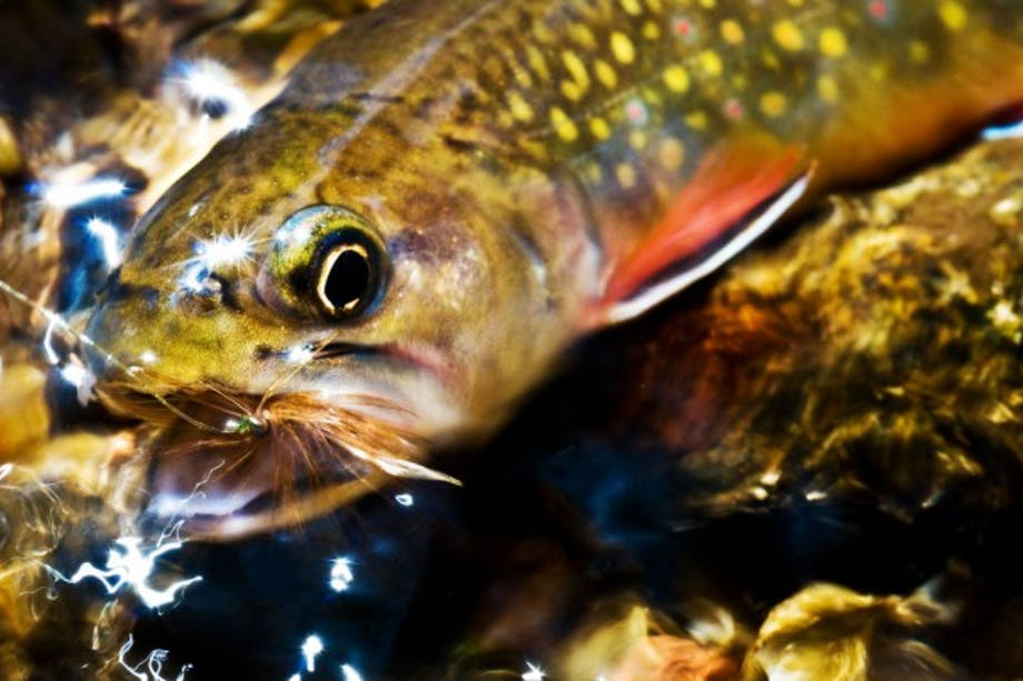 Louis Cahill 's picutre of Yellowhammer fish with fly-fishing fly in mouth