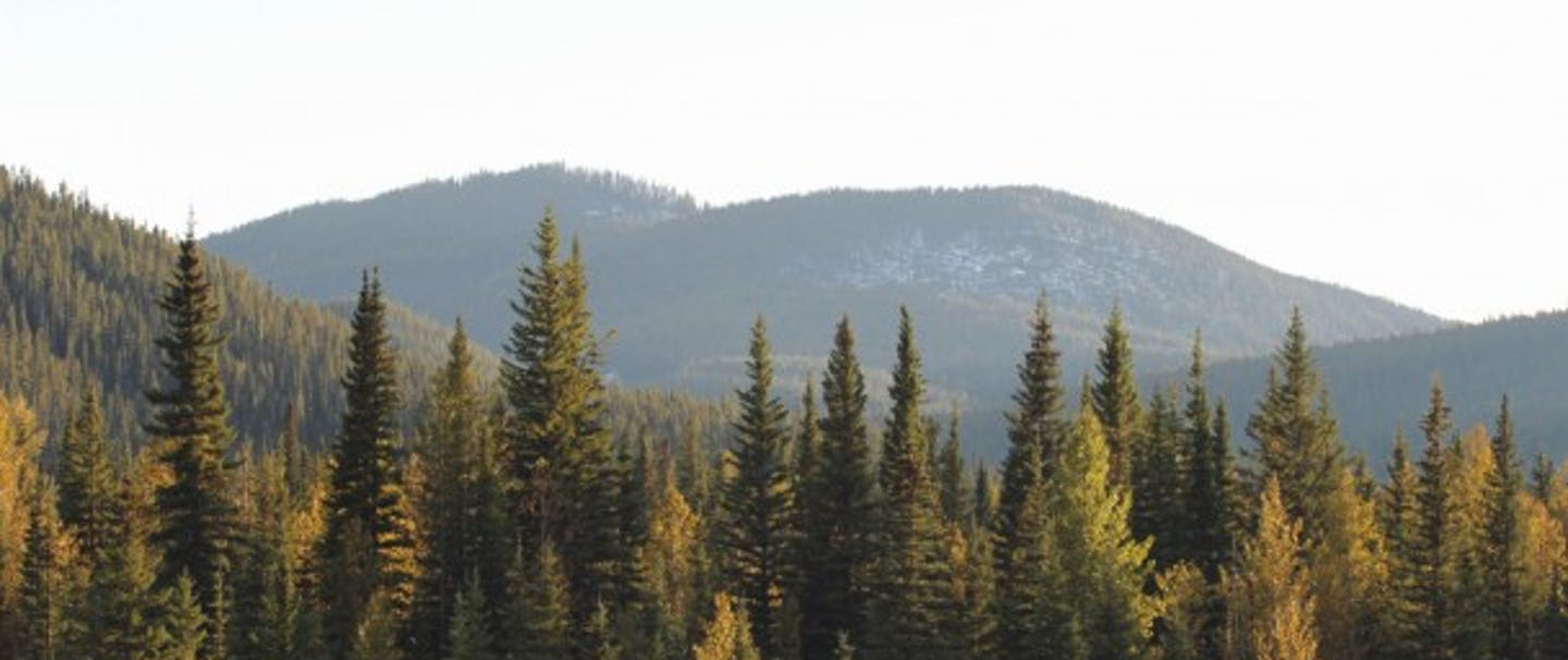 pine forest with rolling mountain peaks