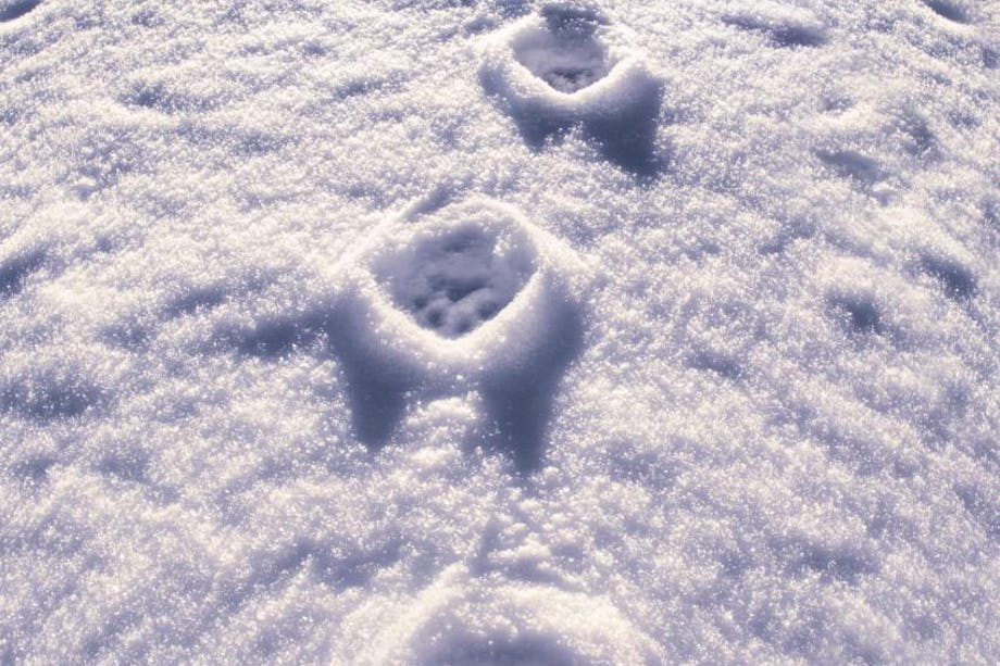 paw prints in a tight line in the snow