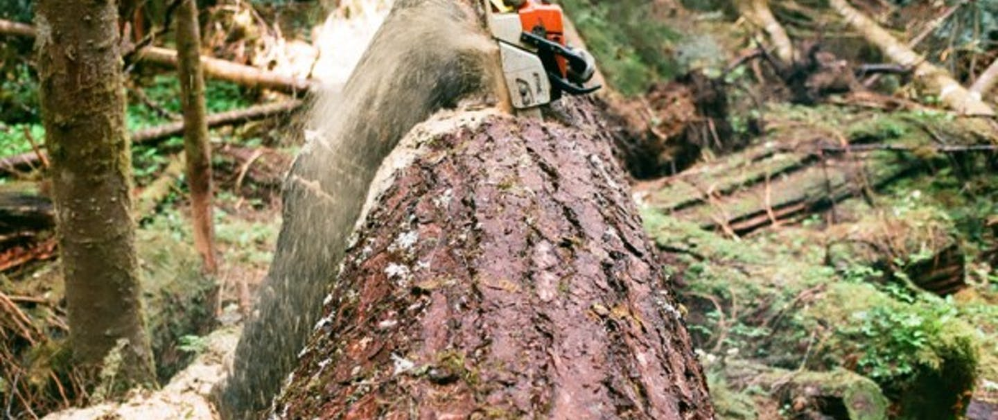 Nick Flows, obscured by sawdust cuts a large log in half with a chainsaw