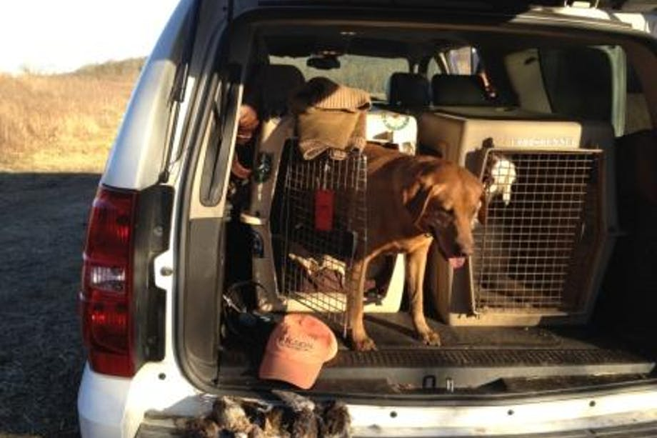 hunting dog exits the crate in the back of the car