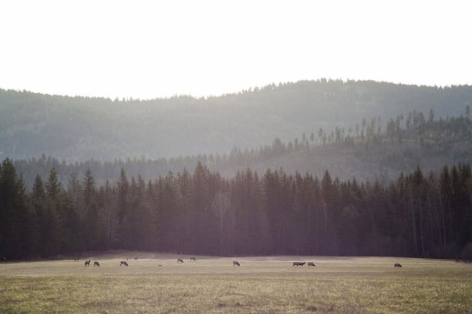 animals grazing in bucolic pasture with large pine treeline in background