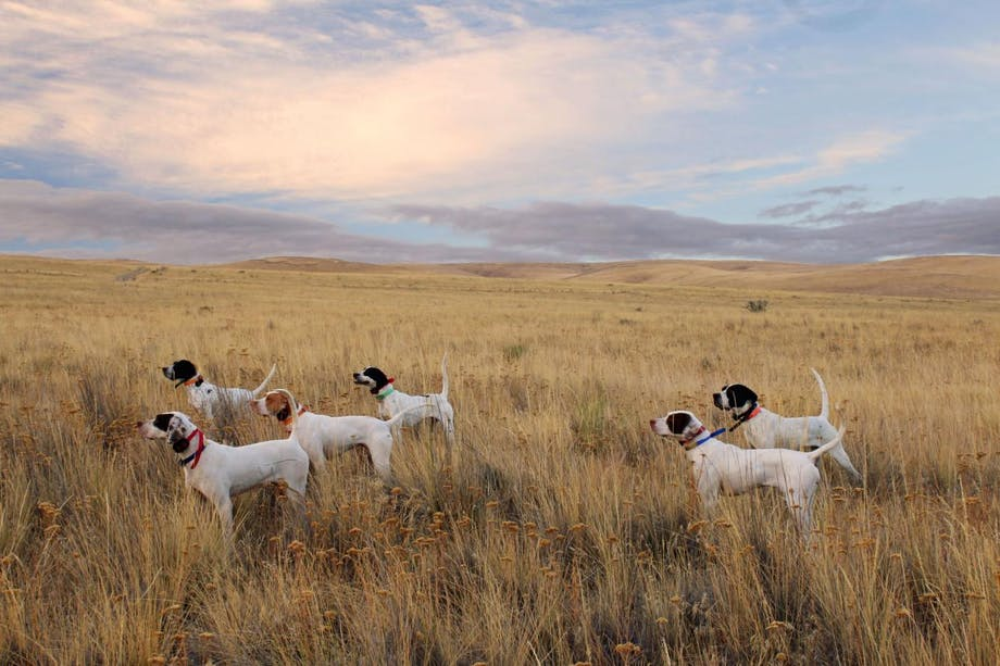 group of bird dogs signal in field of yellow grasses