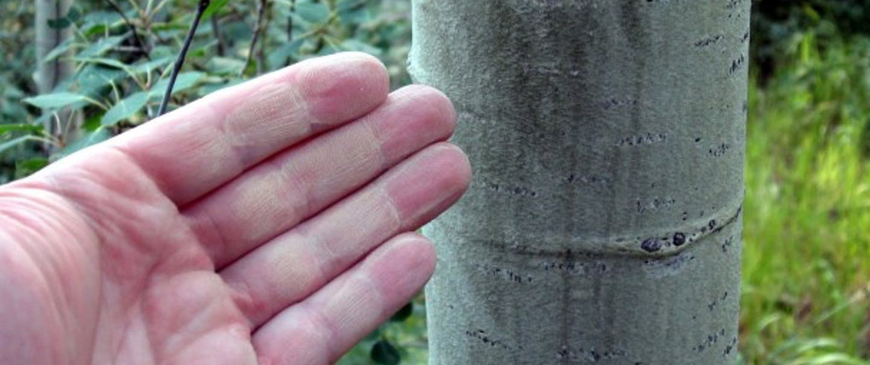 hand points to aspen tree