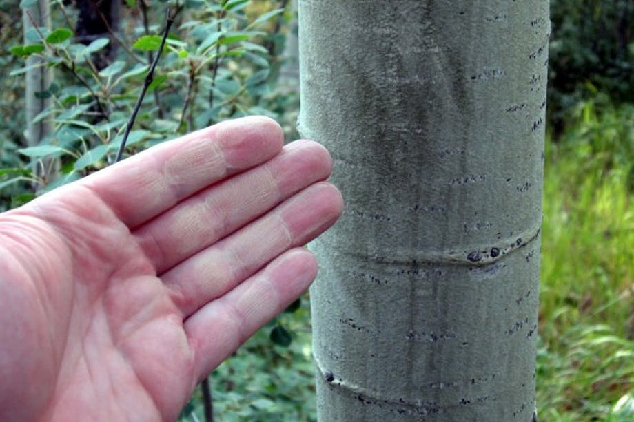 hand points to aspen tree
