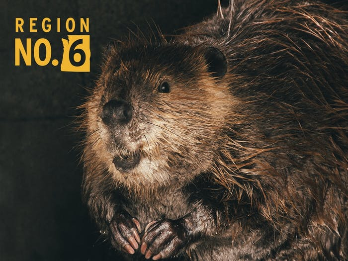 close up of beaver