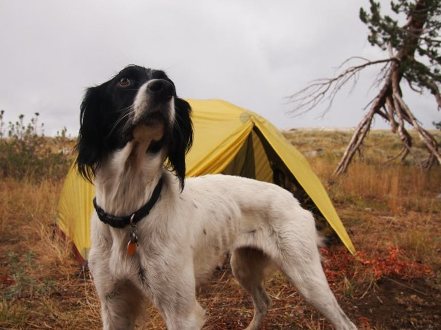 hunting dog in front of tent