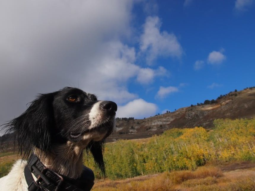 hunting dog looking out into the landscape