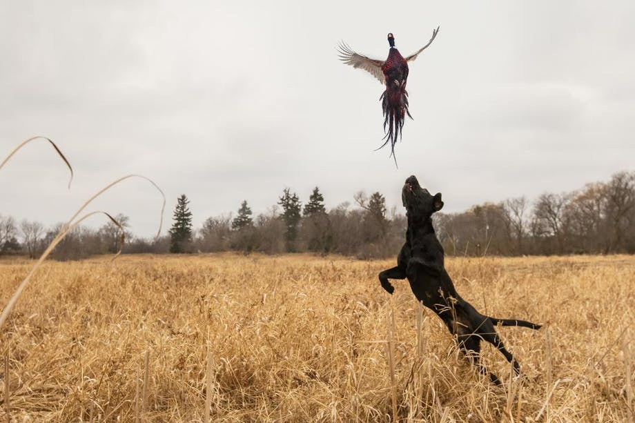 black lab jumping to catch pheasant flying away in a hunting field with dead grass and cattails