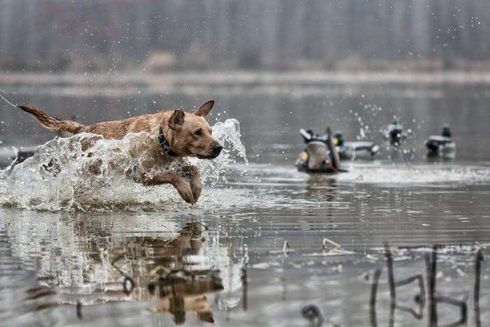 hunting dog fetching duck in lake