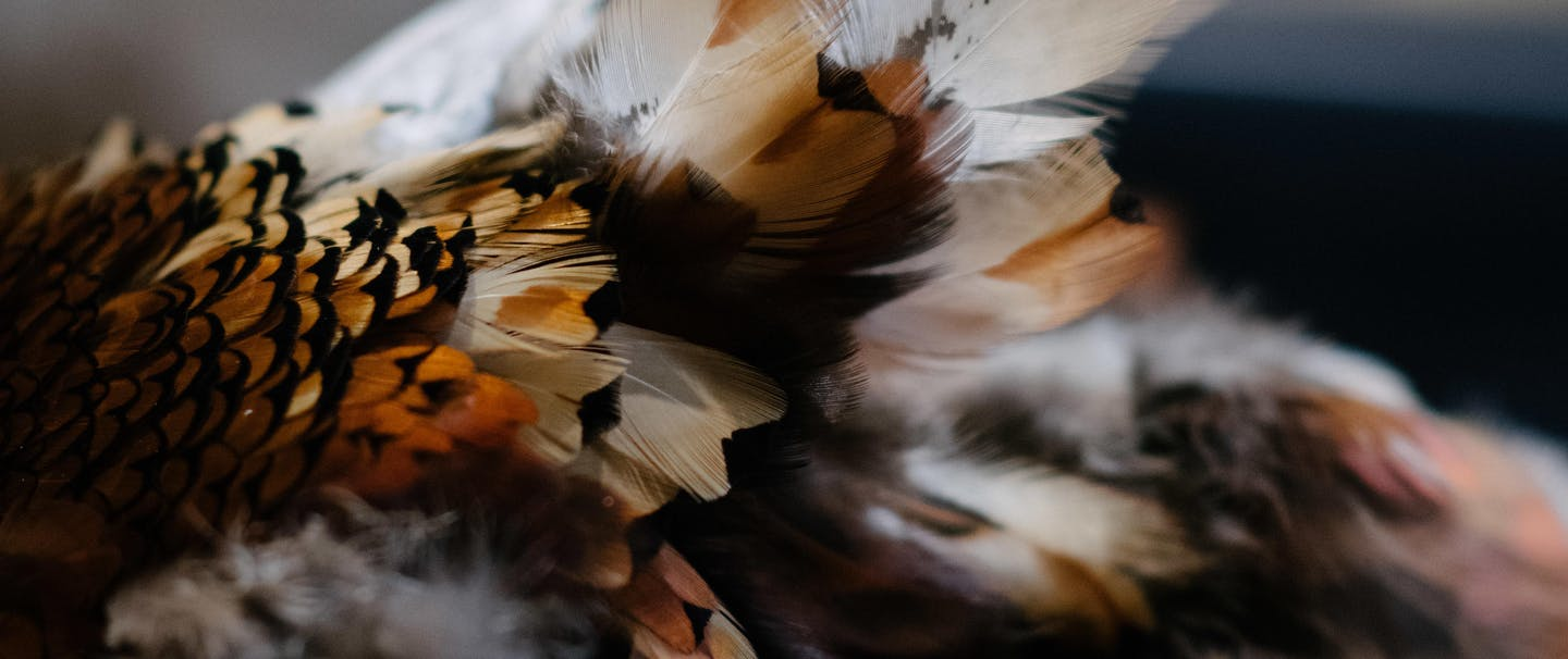 pile of pheasant feathers after removing them from the bird