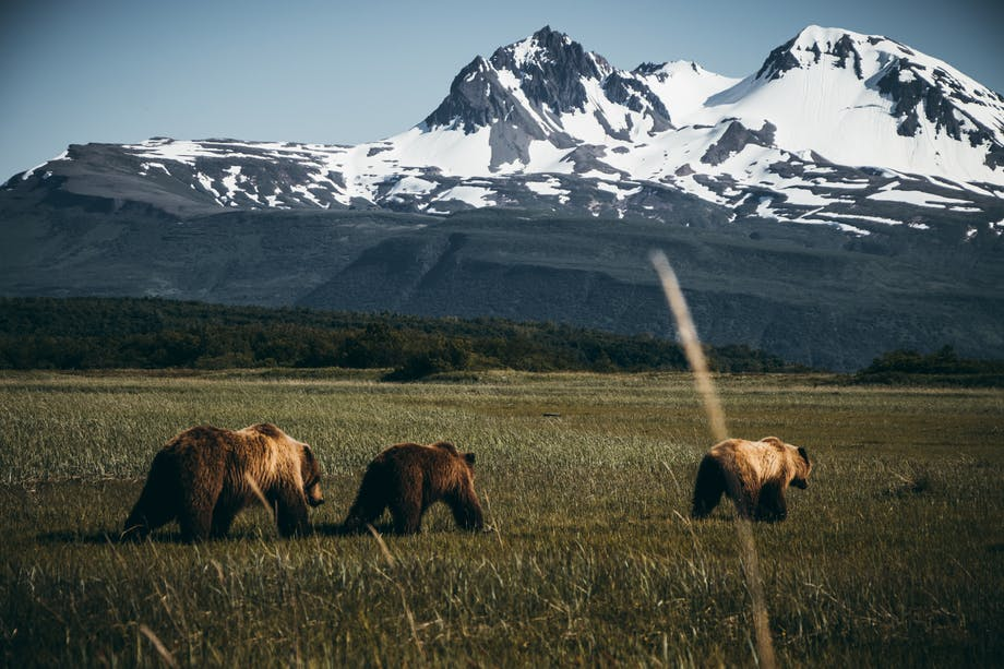 three bears walking away from cameraman towards snowy mountain peaks in the background