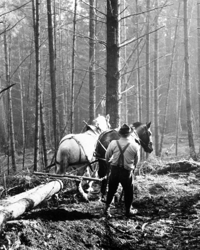 man working with horses to pull log