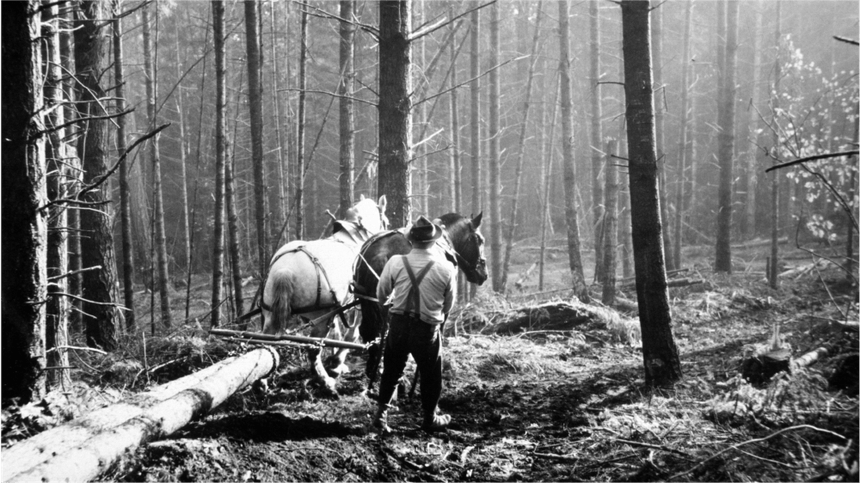man guiding horses as they pull a log through the woods
