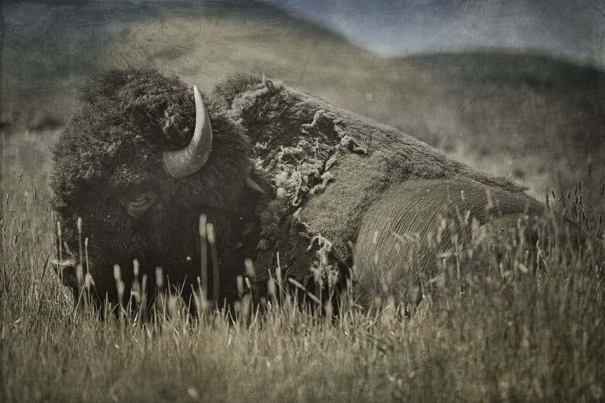 a grey and white image of a bison laying down in tall grass